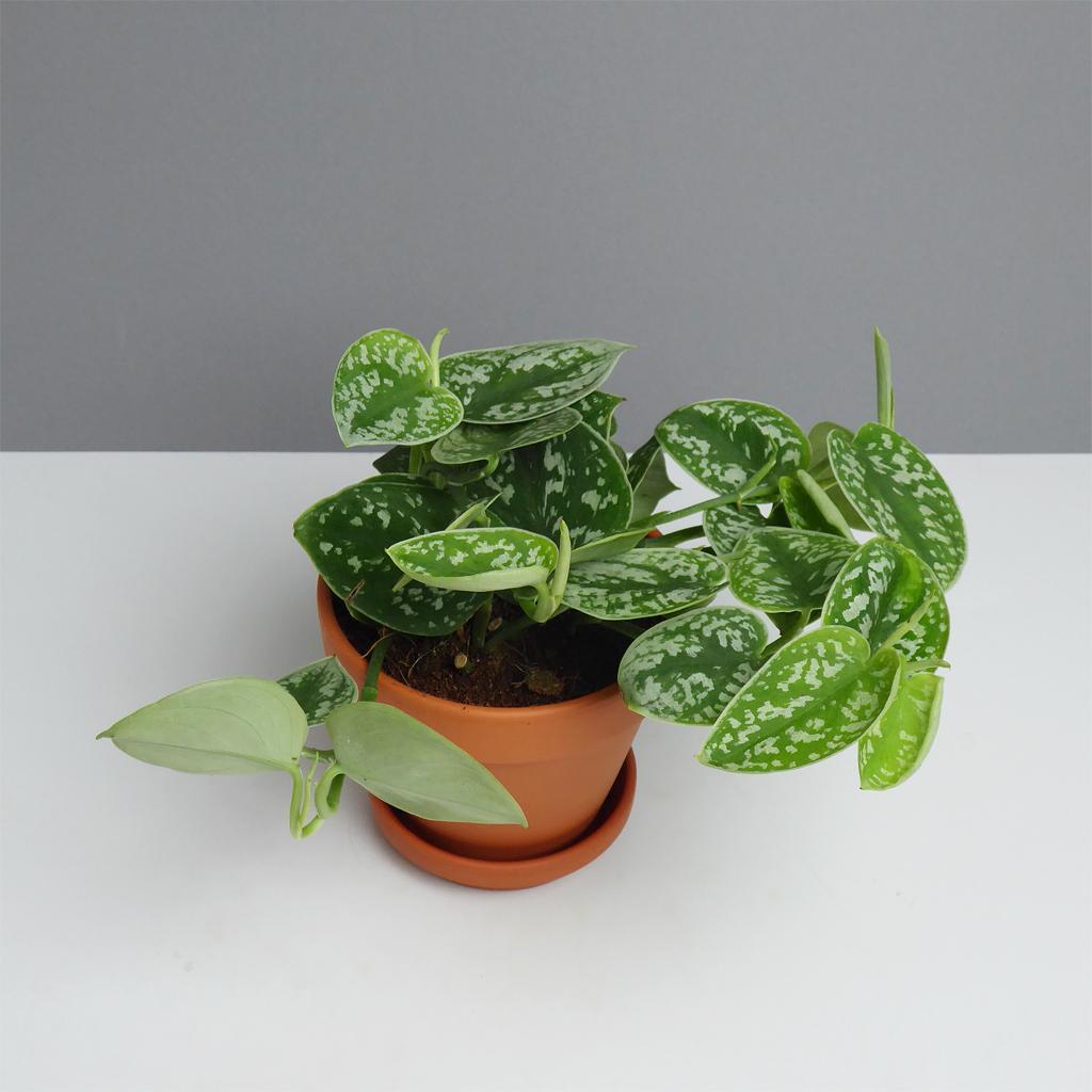 zimmerpflanze scindapsus online kaufen the botanical room. Black Bedroom Furniture Sets. Home Design Ideas