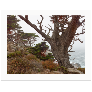 Old Guardian of the Pacific Coast, Point Lobos, California | Edition Print 24   unlimitiert | Bildnummer: IQ180_160907_061-24