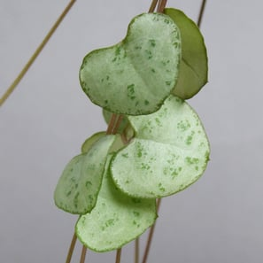 Ceropegia woodii - Babypflanze | Leuchterblume, Chain of Hearts | Artikelnummer: KS-CeroWoo-Baby