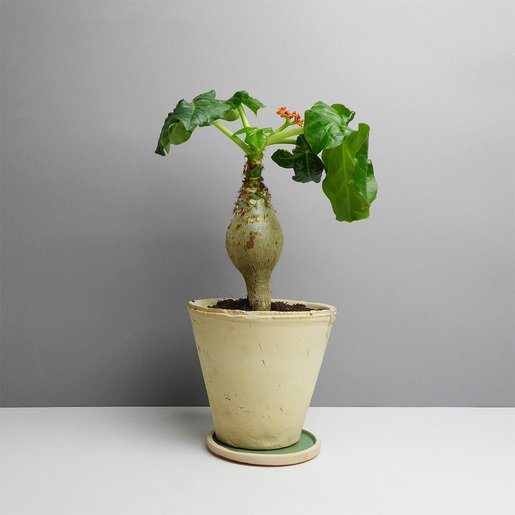 Jatropha online kaufen - The Botanical Room