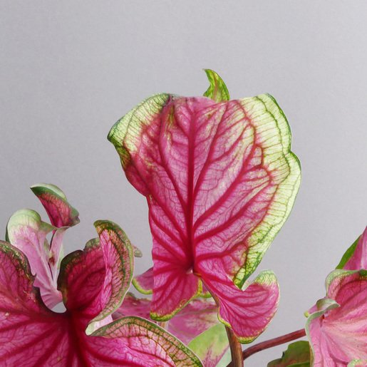 Caladium Florida Sweetheart kaufen - The Botanical Room