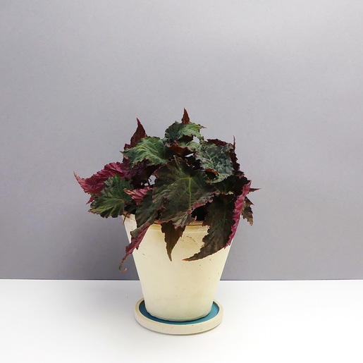 Begonia Royal Velour -kaufen - The Botanical Room