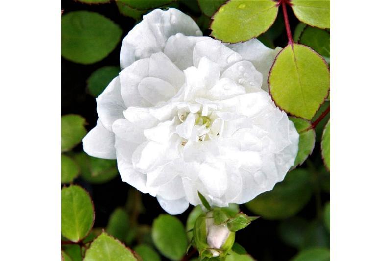 rosen kordes bodendeckerrose escimo adr rose a qualit t premium rosen wei. Black Bedroom Furniture Sets. Home Design Ideas